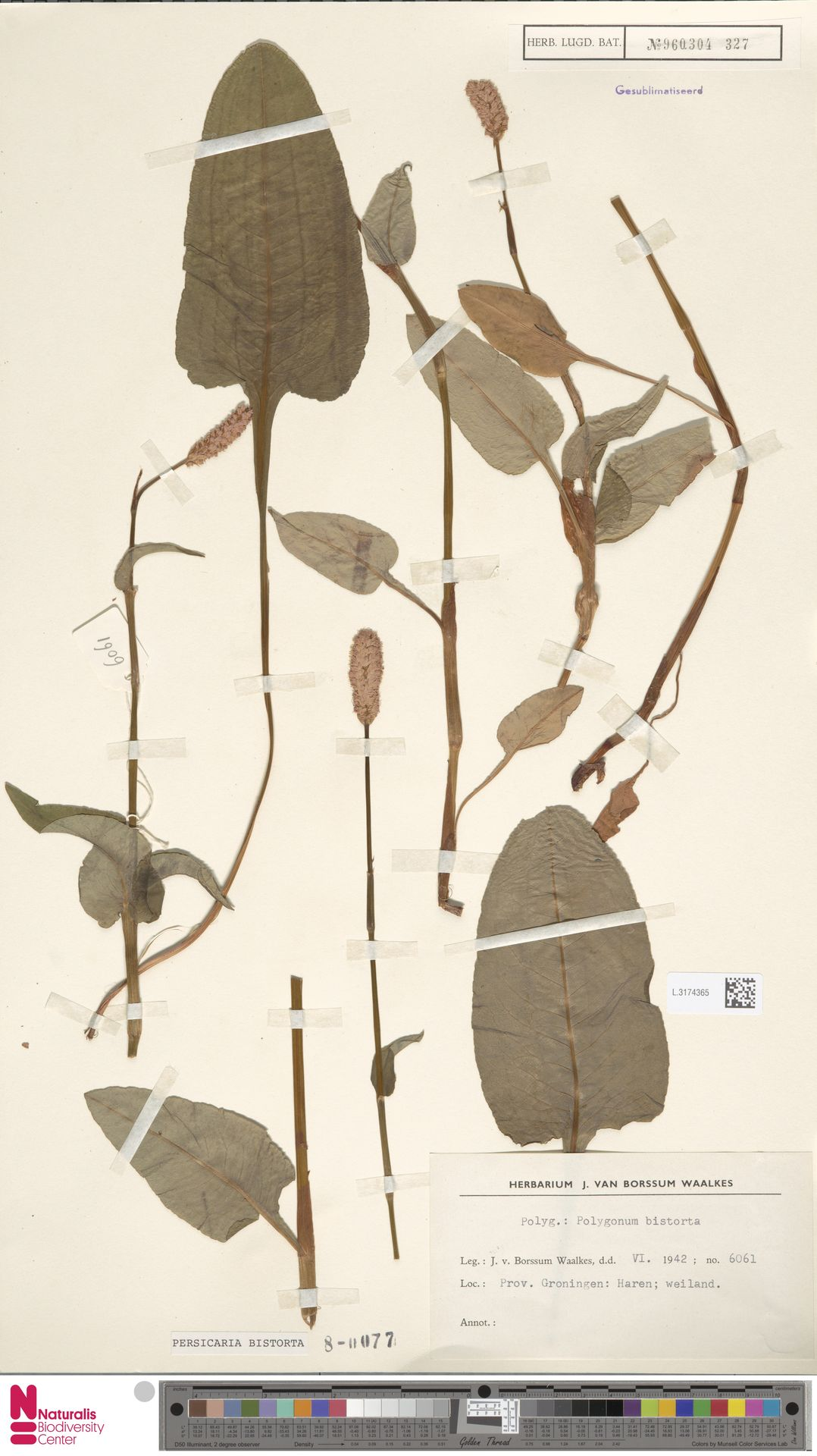 L.3174365   Persicaria bistorta (L.) Samp.