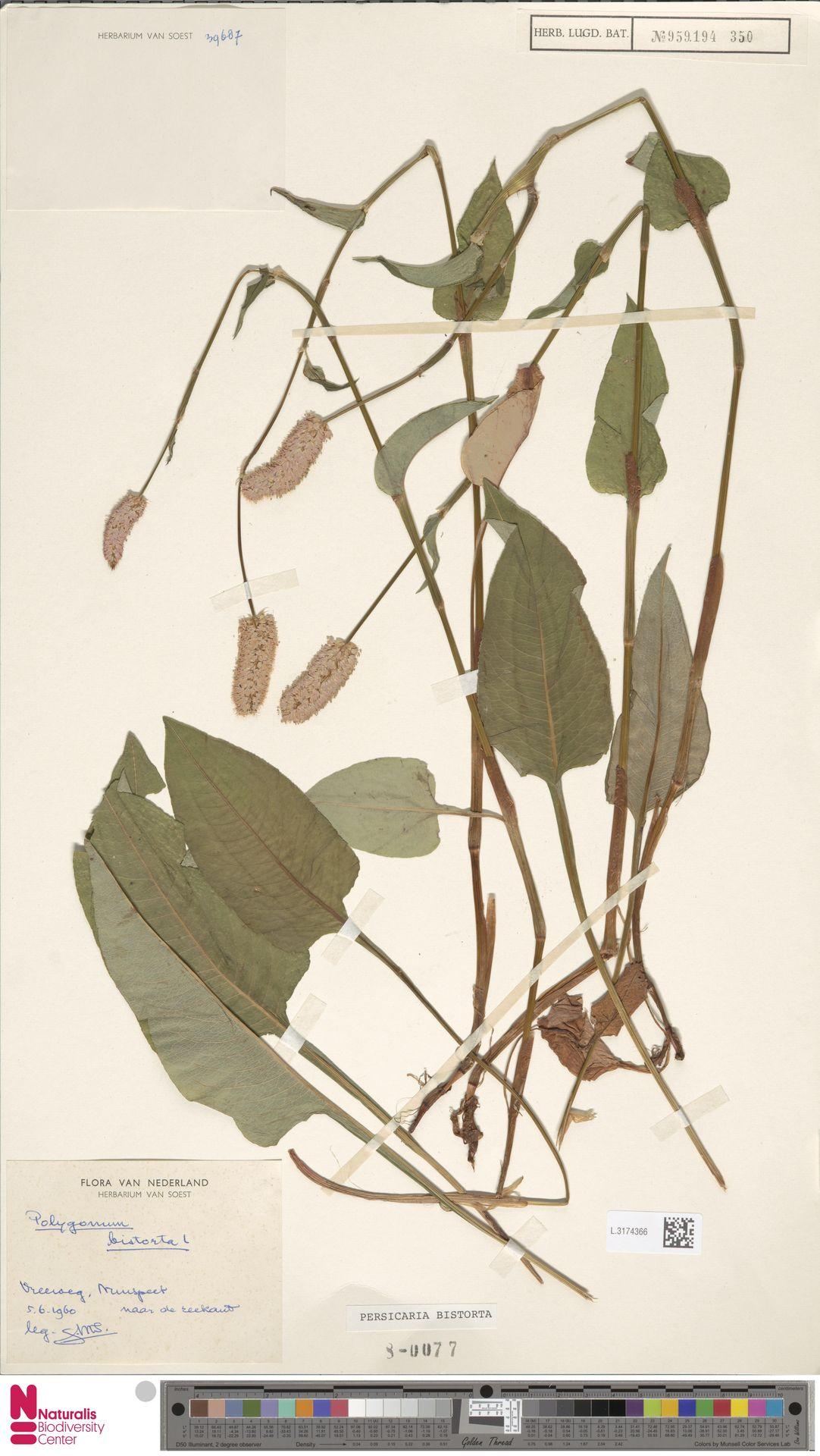 L.3174366 | Persicaria bistorta (L.) Samp.