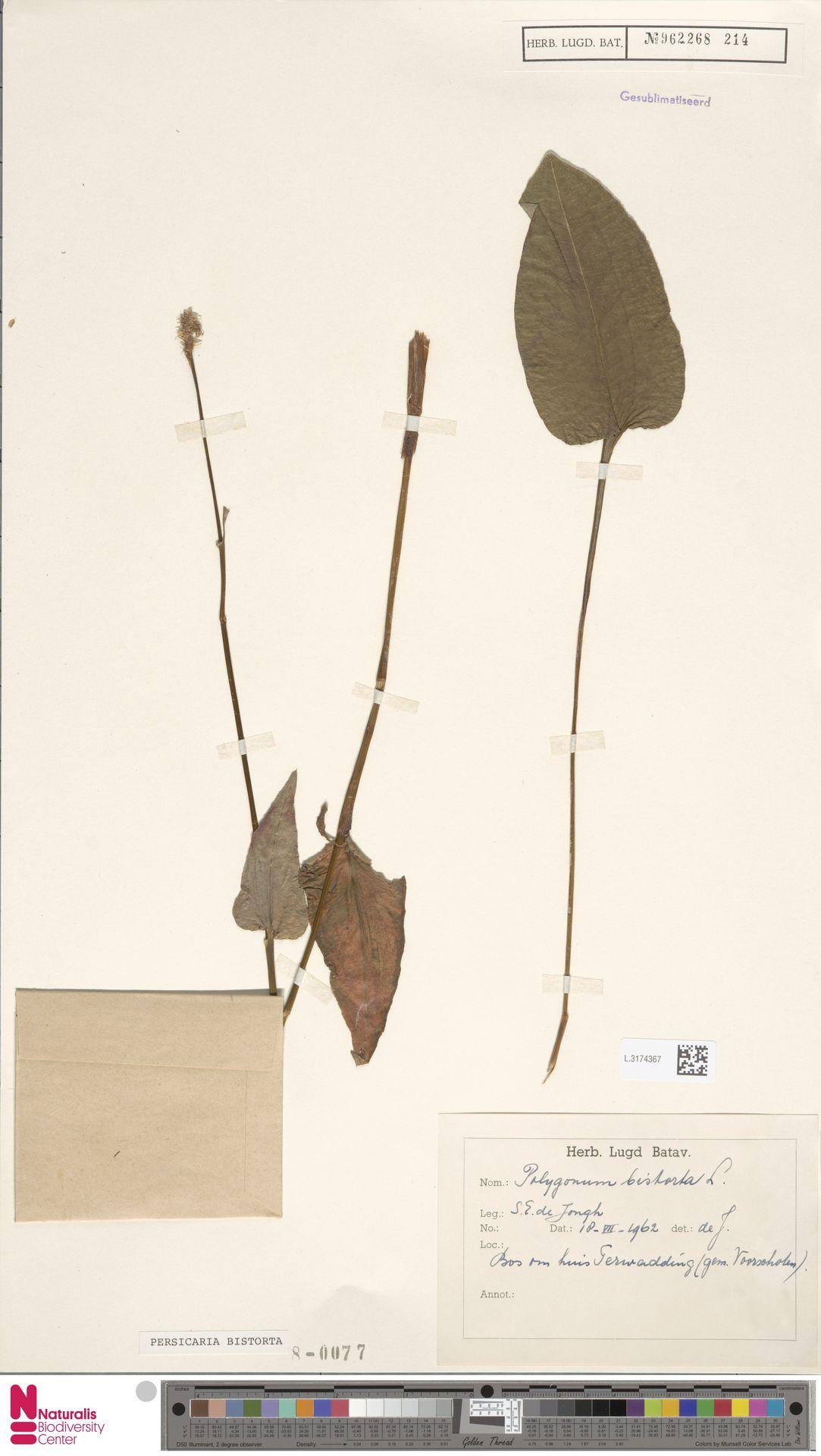 L.3174367 | Persicaria bistorta (L.) Samp.