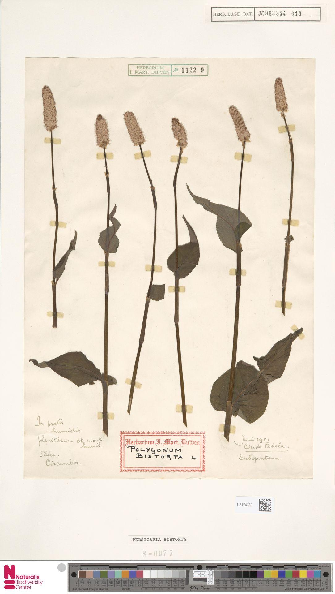 L.3174368 | Persicaria bistorta (L.) Samp.