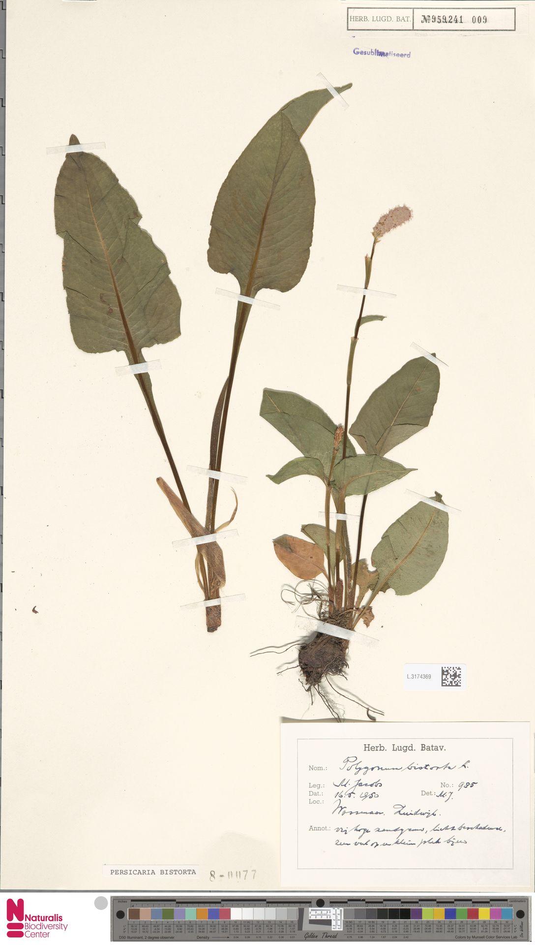 L.3174369 | Persicaria bistorta (L.) Samp.