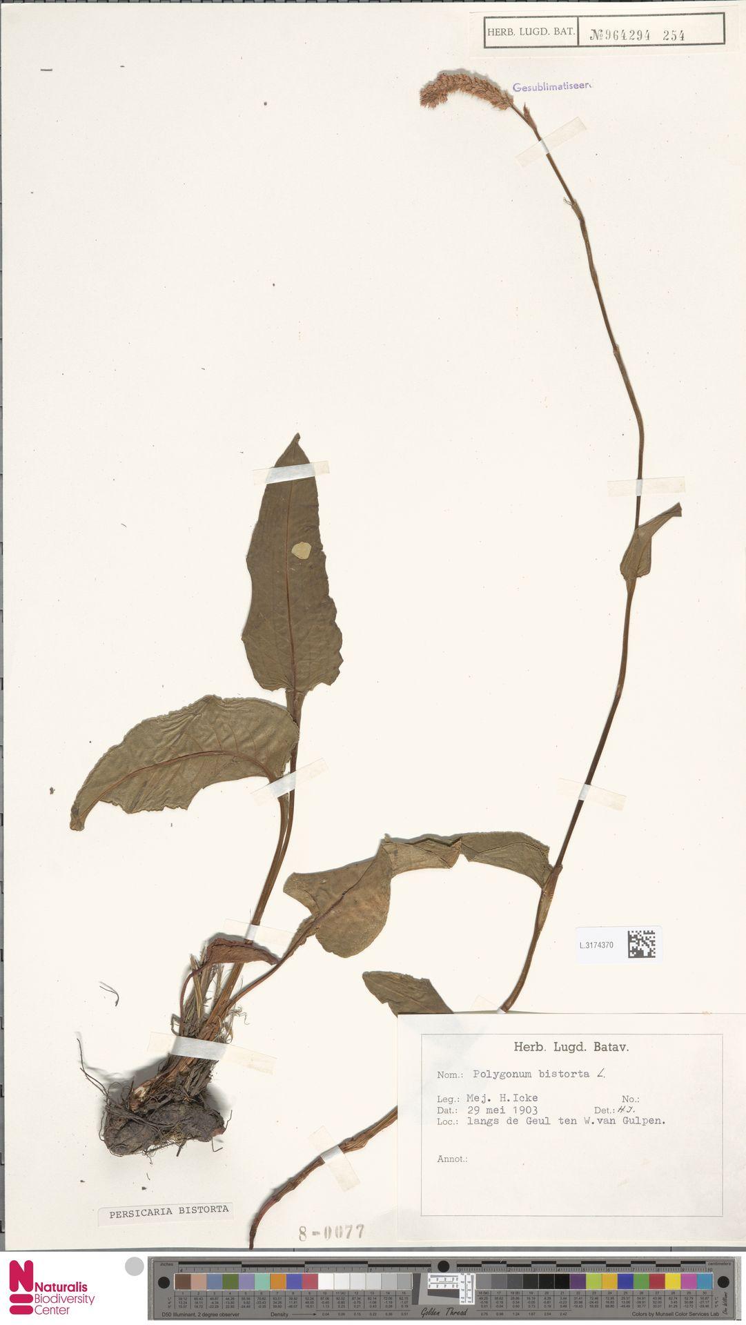 L.3174370 | Persicaria bistorta (L.) Samp.