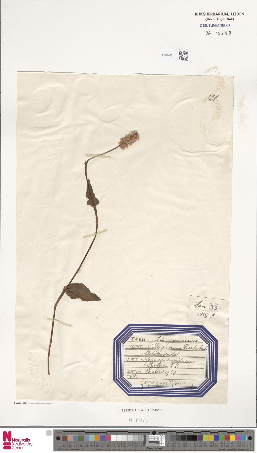 L.3174371 | Persicaria bistorta (L.) Samp.