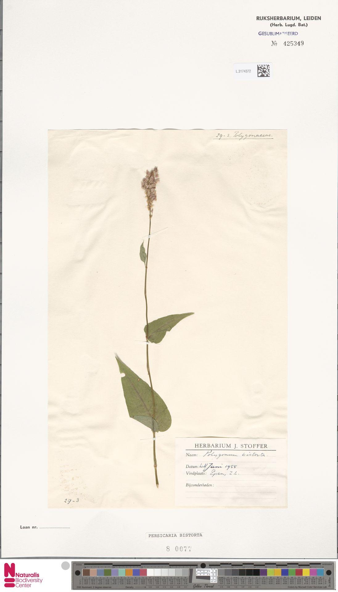 L.3174372 | Persicaria bistorta (L.) Samp.