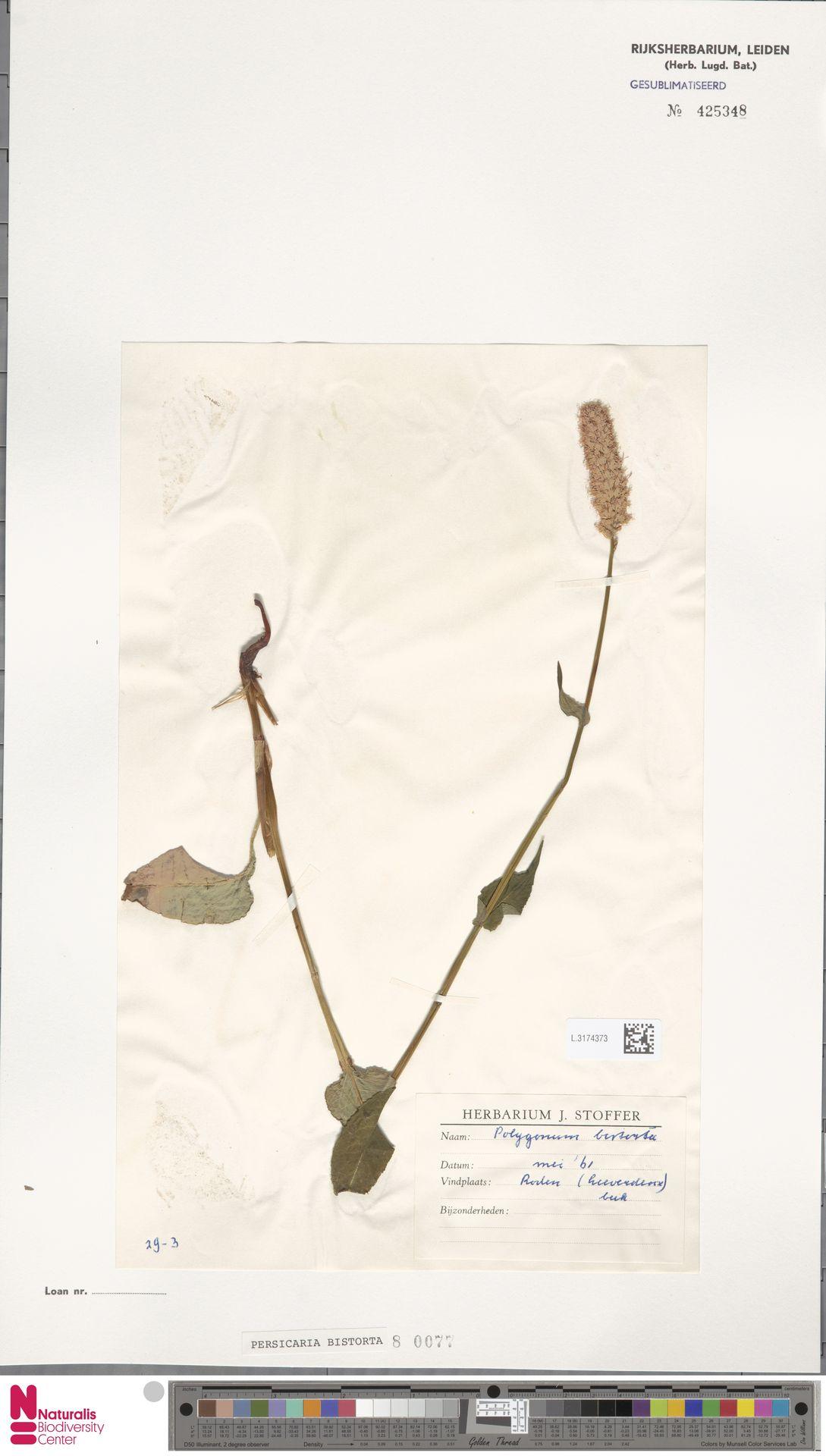 L.3174373 | Persicaria bistorta (L.) Samp.