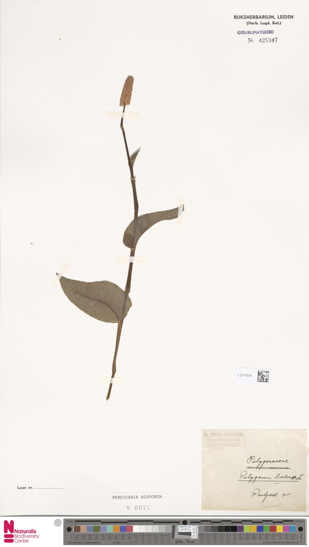 L.3174374 | Persicaria bistorta (L.) Samp.