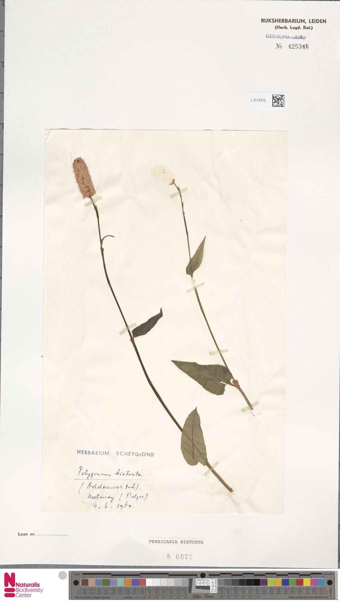 L.3174375 | Persicaria bistorta (L.) Samp.