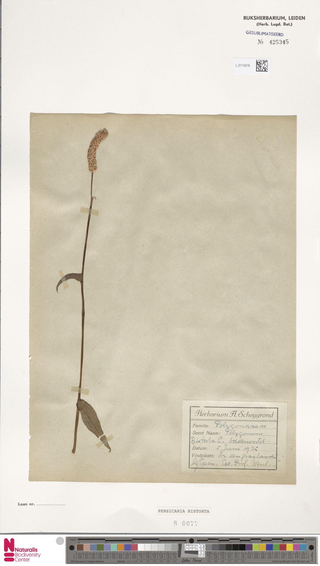L.3174376 | Persicaria bistorta (L.) Samp.