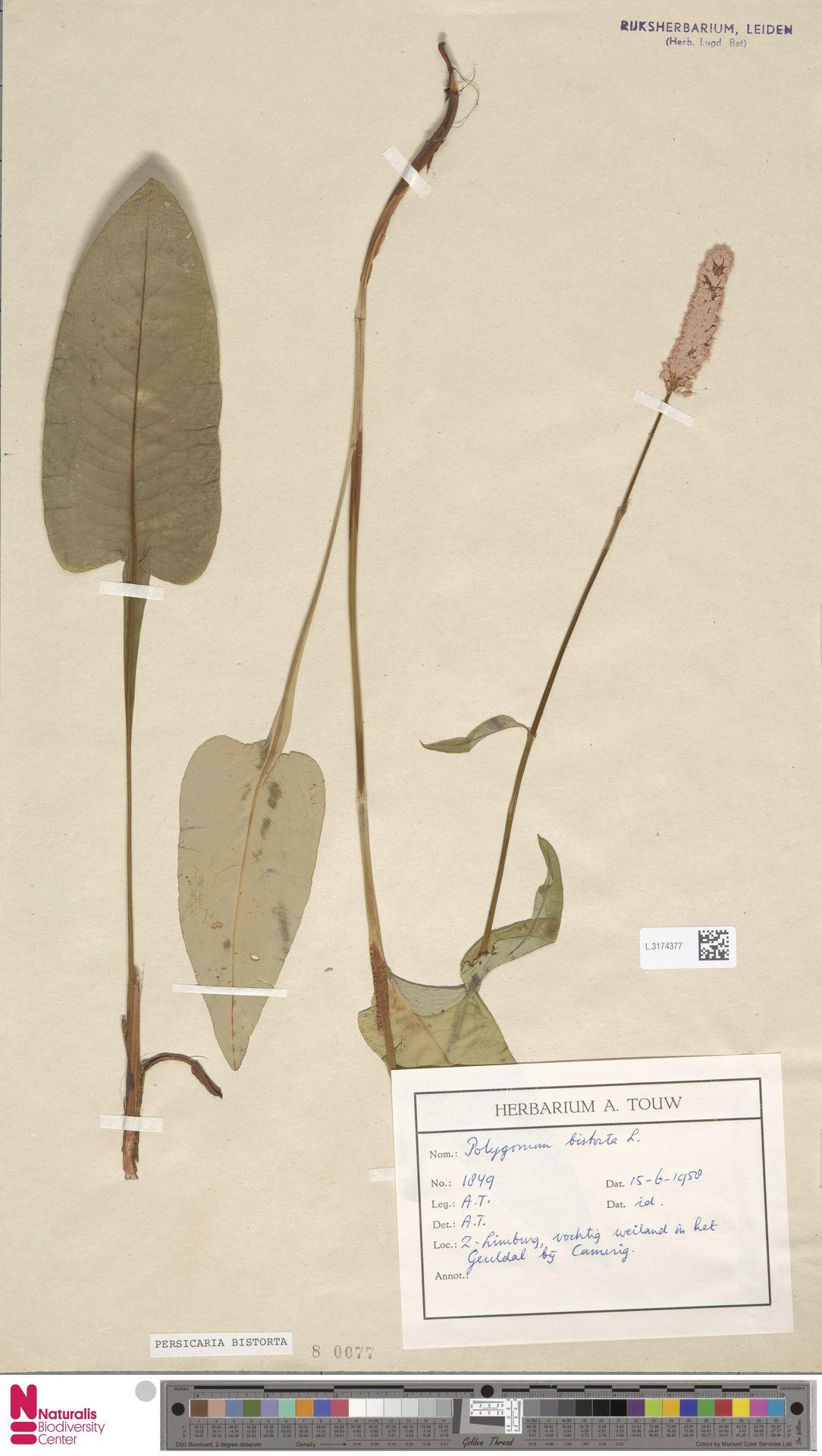 L.3174377 | Persicaria bistorta (L.) Samp.
