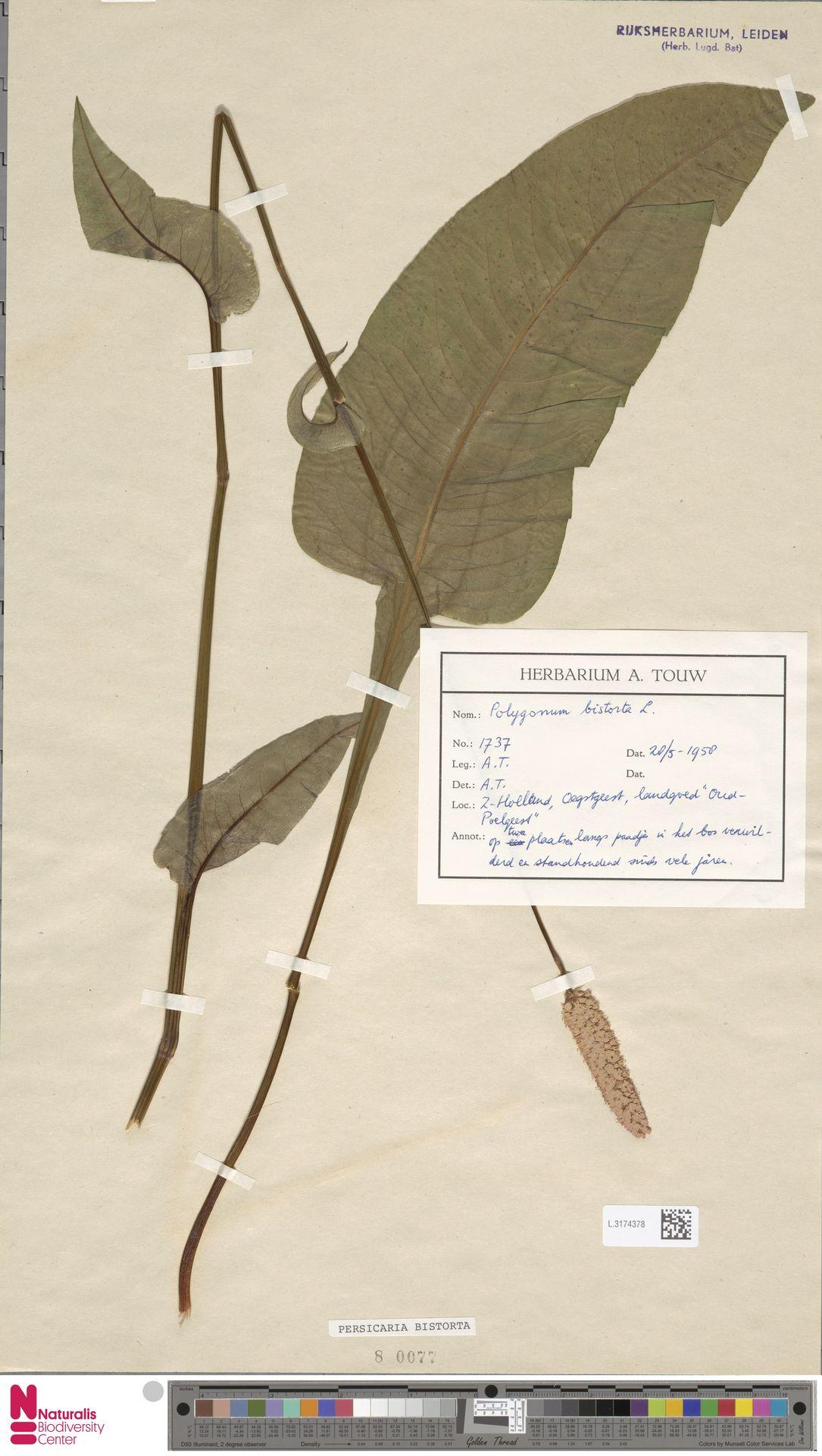 L.3174378 | Persicaria bistorta (L.) Samp.