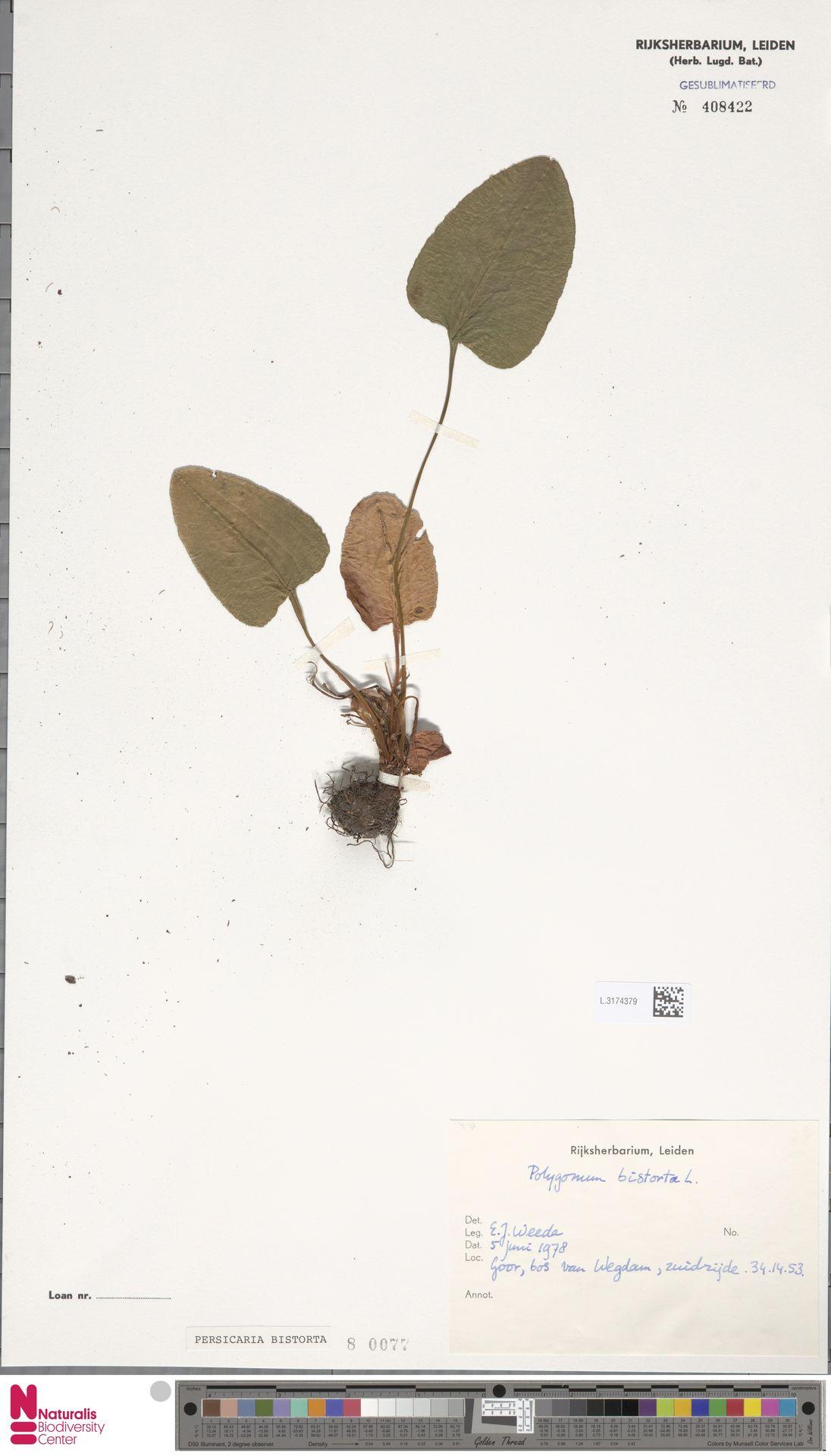 L.3174379 | Persicaria bistorta (L.) Samp.