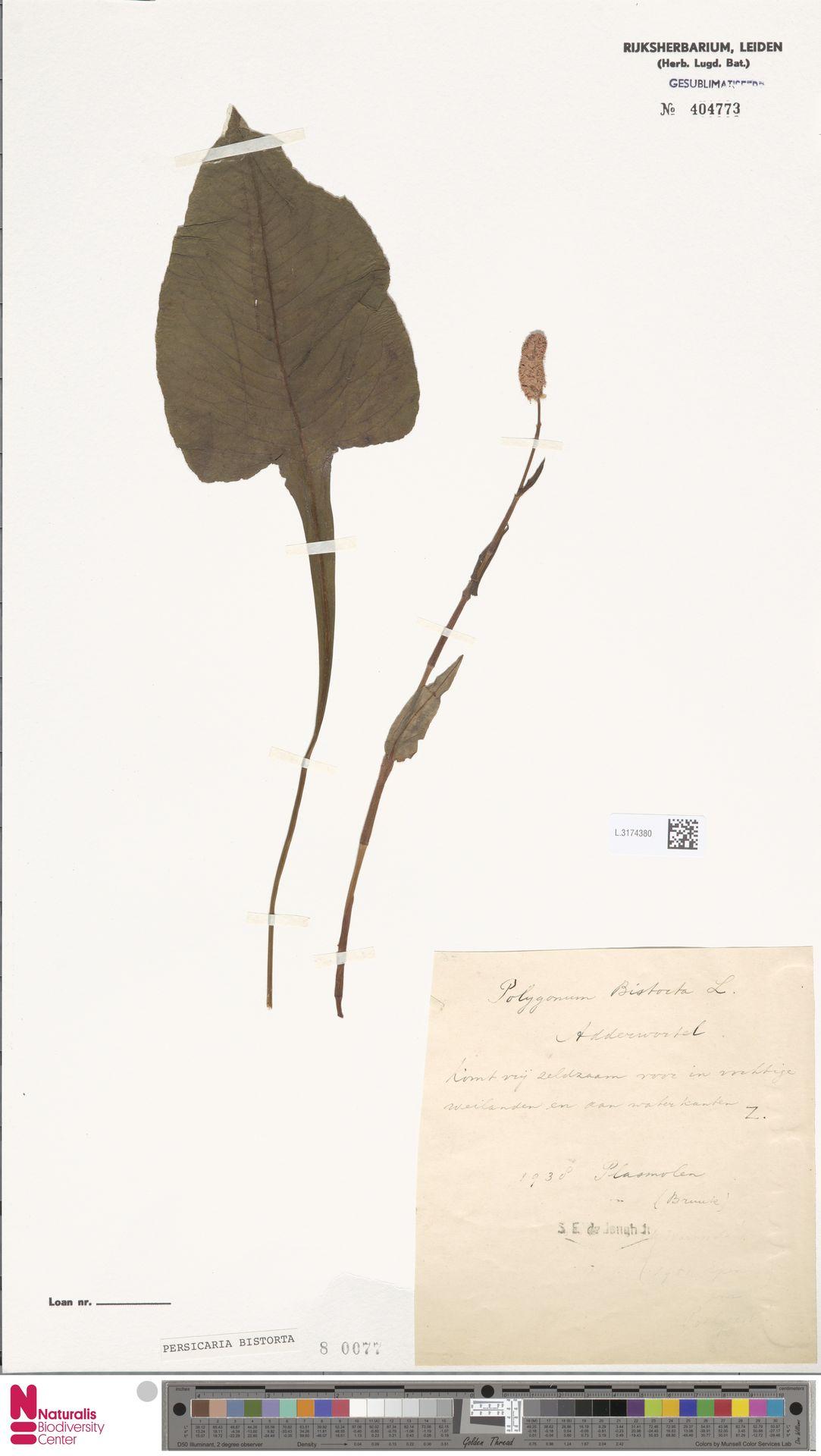 L.3174380 | Persicaria bistorta (L.) Samp.