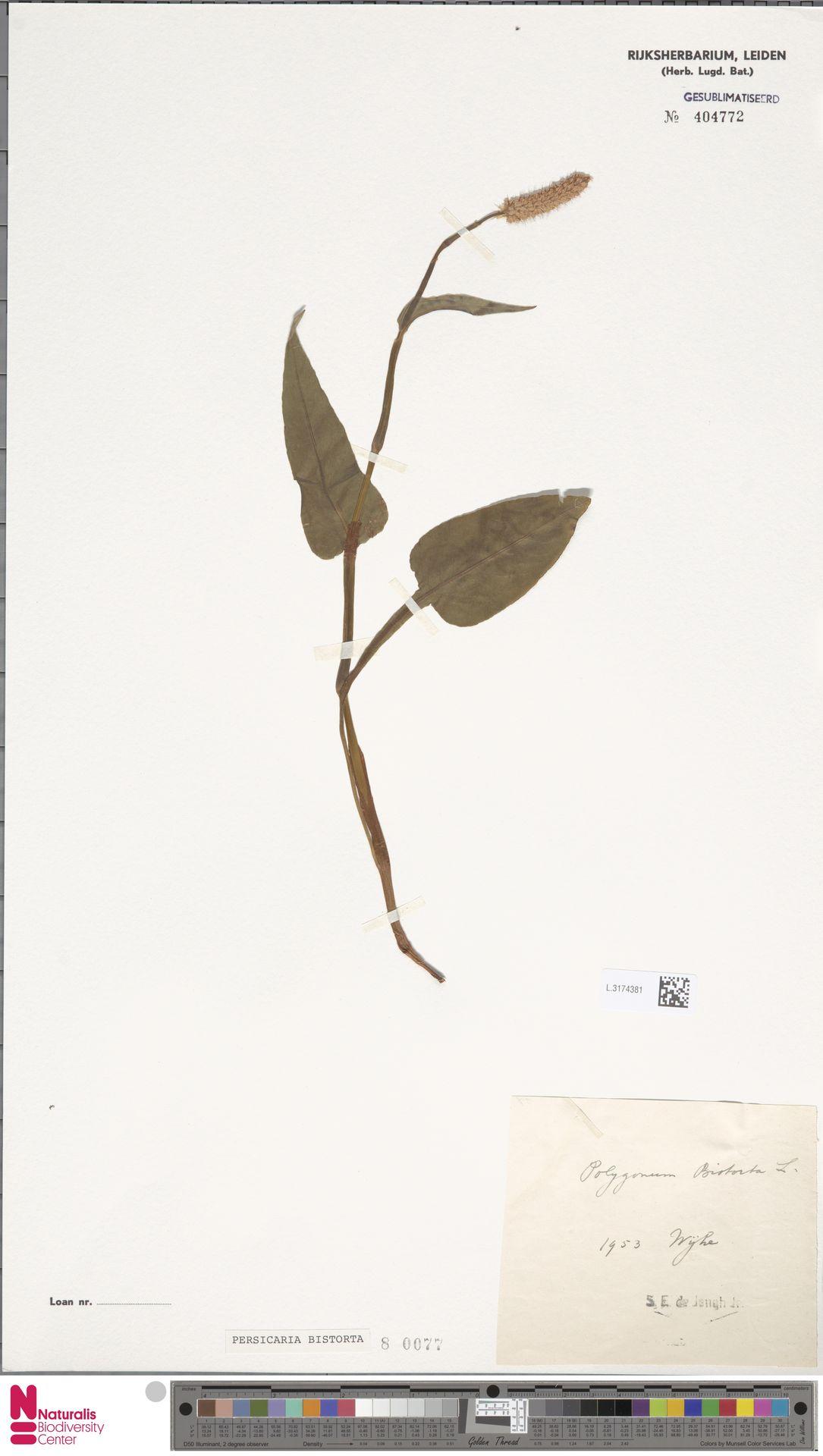 L.3174381 | Persicaria bistorta (L.) Samp.