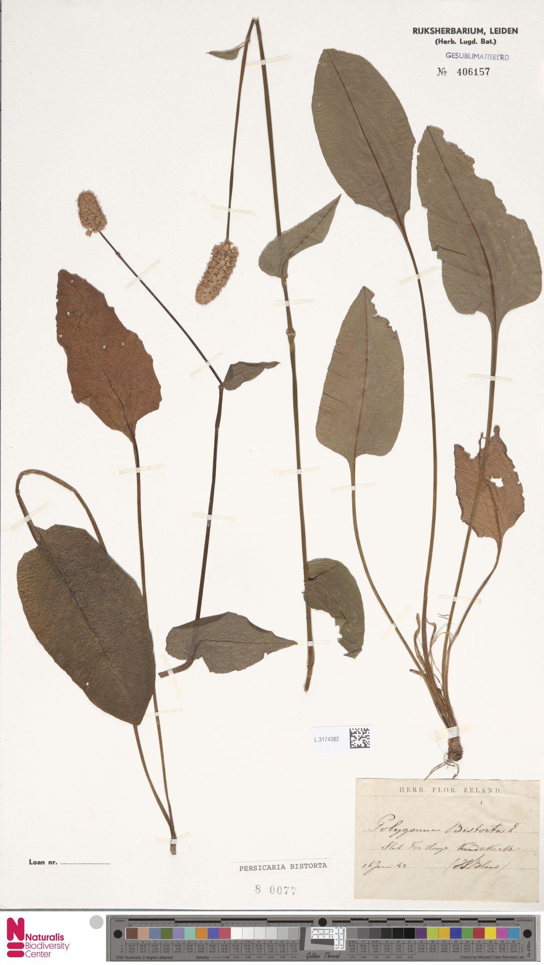 L.3174382 | Persicaria bistorta (L.) Samp.