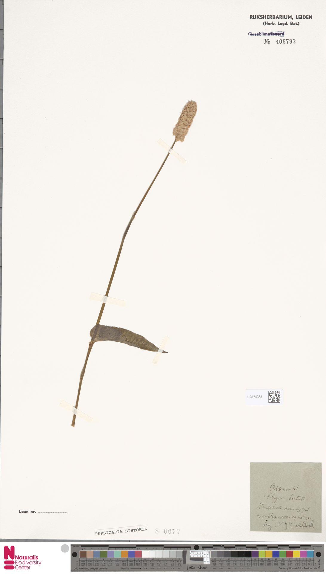L.3174383 | Persicaria bistorta (L.) Samp.