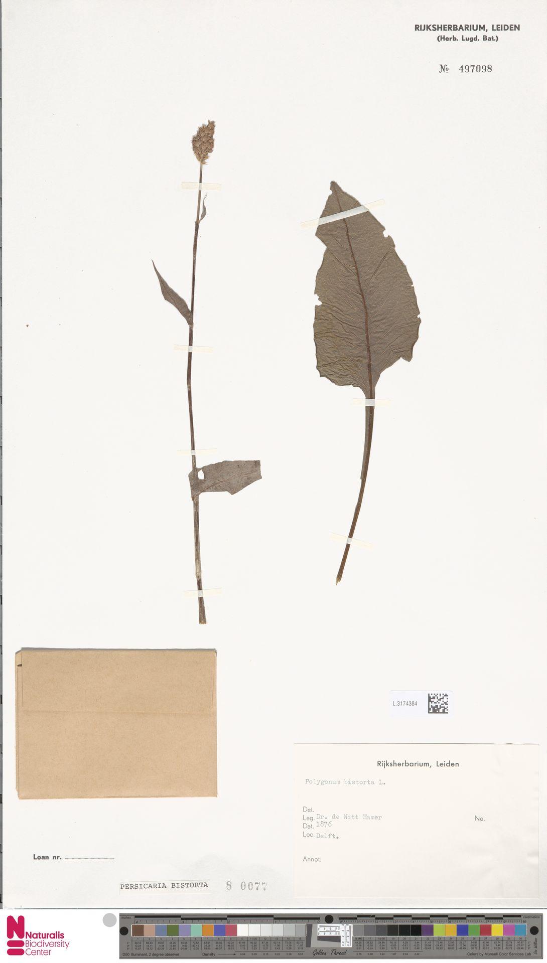 L.3174384 | Persicaria bistorta (L.) Samp.