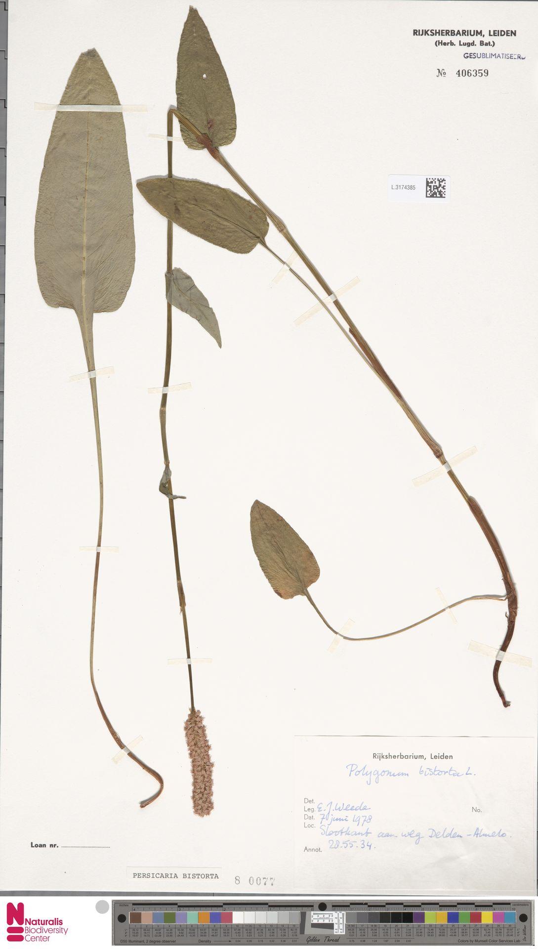 L.3174385 | Persicaria bistorta (L.) Samp.