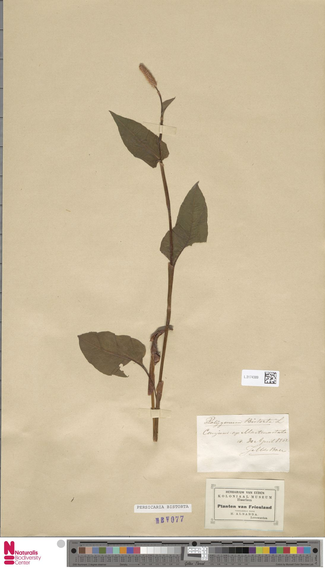 L.3174389 | Persicaria bistorta (L.) Samp.