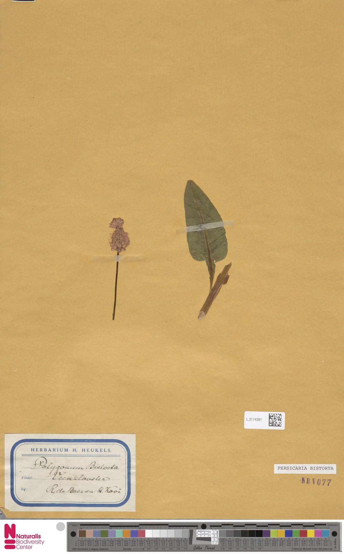 L.3174391 | Persicaria bistorta (L.) Samp.