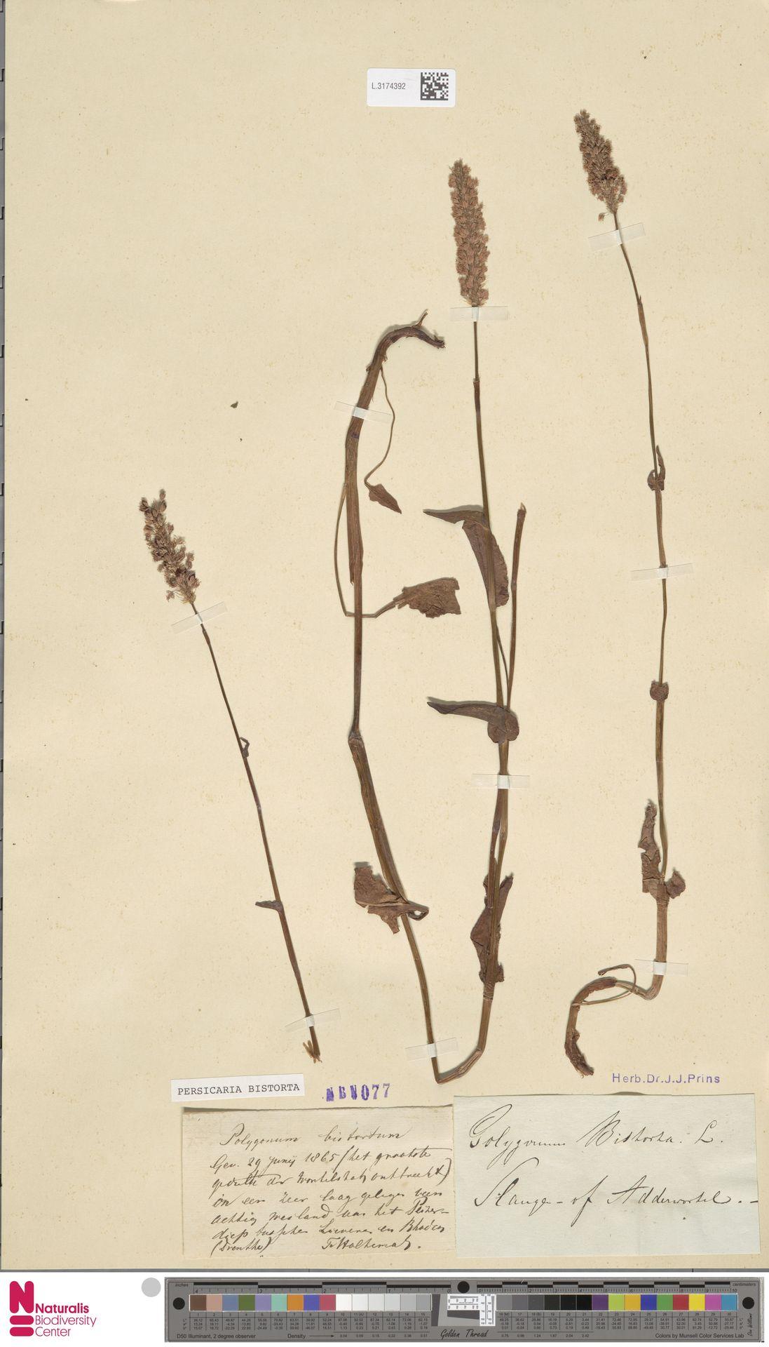 L.3174392   Persicaria bistorta (L.) Samp.
