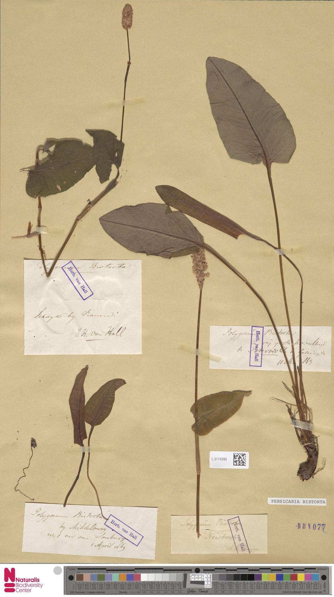 L.3174393   Persicaria bistorta (L.) Samp.