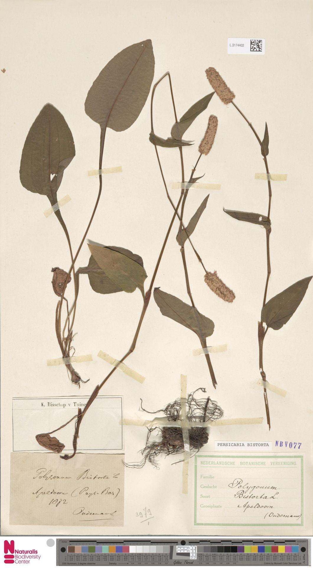 L.3174402 | Persicaria bistorta (L.) Samp.