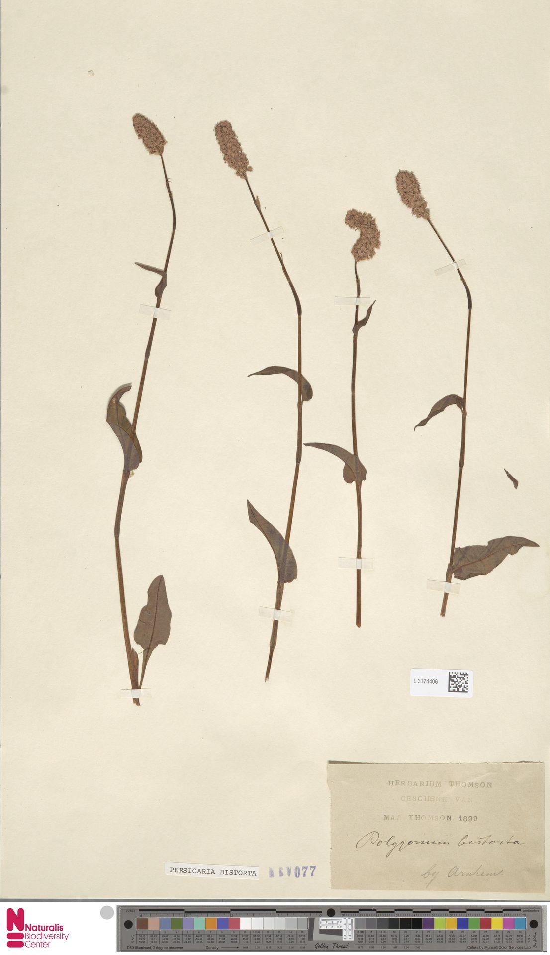 L.3174406 | Persicaria bistorta (L.) Samp.
