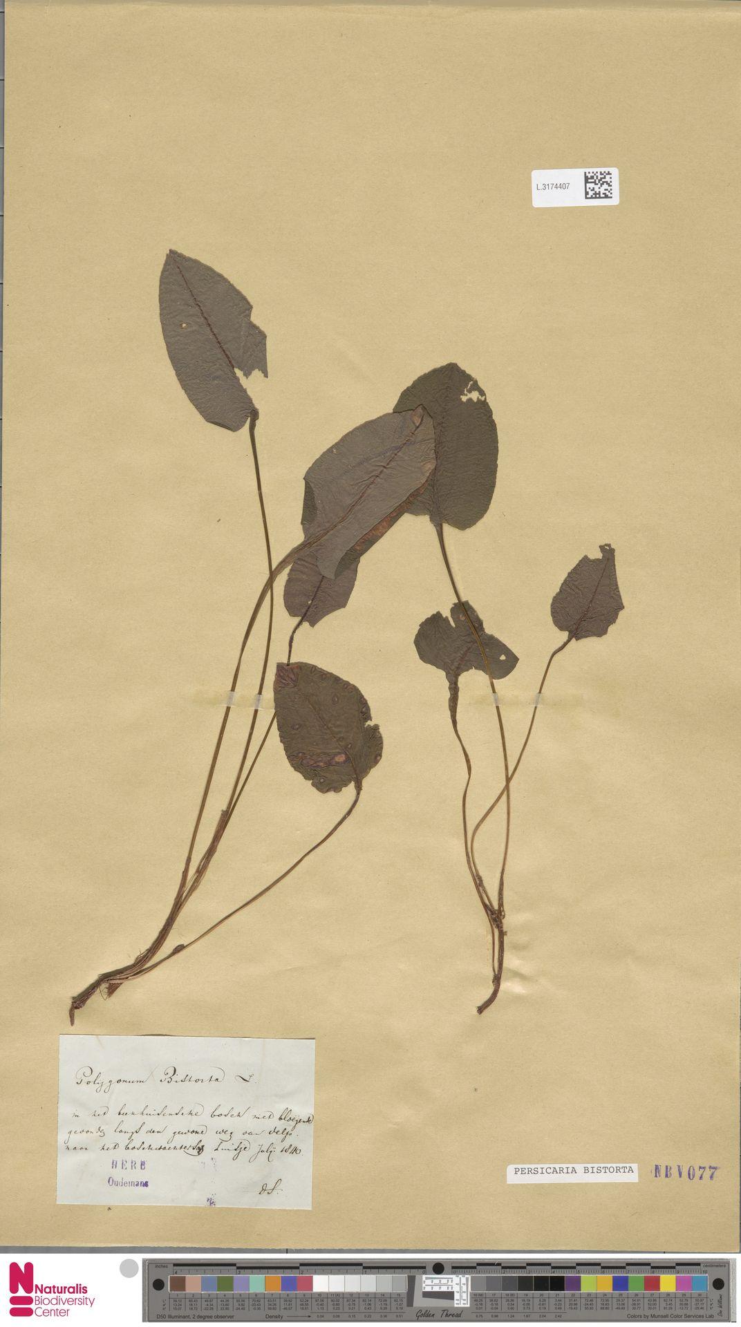 L.3174407 | Persicaria bistorta (L.) Samp.