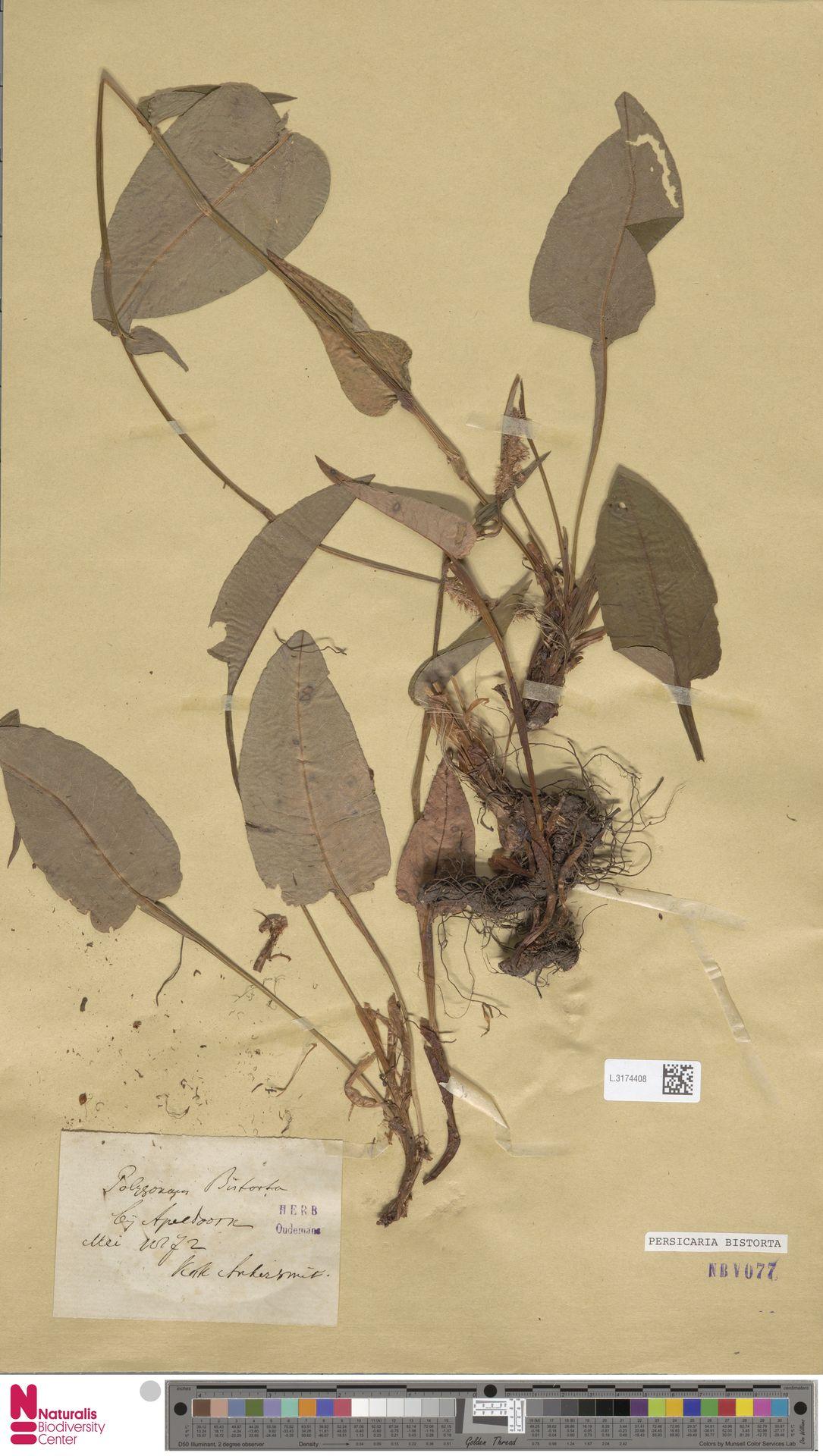 L.3174408 | Persicaria bistorta (L.) Samp.
