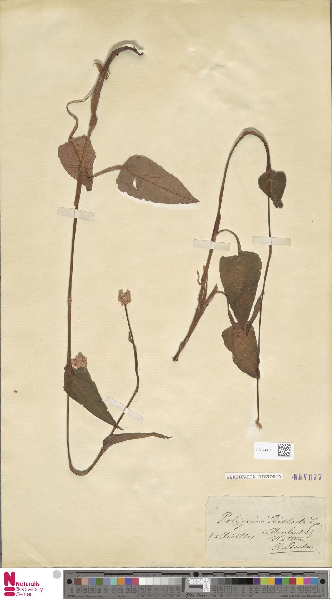 L.3174411 | Persicaria bistorta (L.) Samp.
