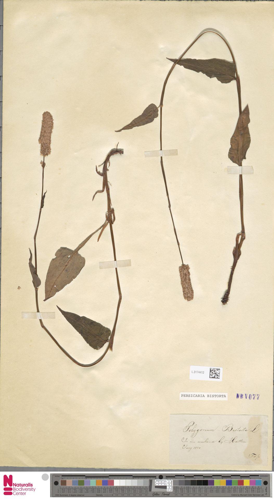 L.3174412 | Persicaria bistorta (L.) Samp.