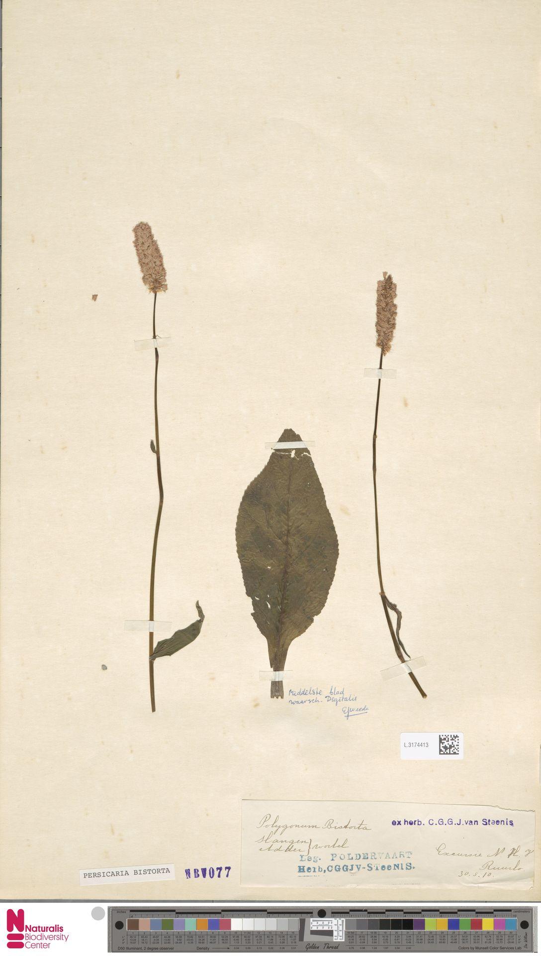 L.3174413 | Persicaria bistorta (L.) Samp.
