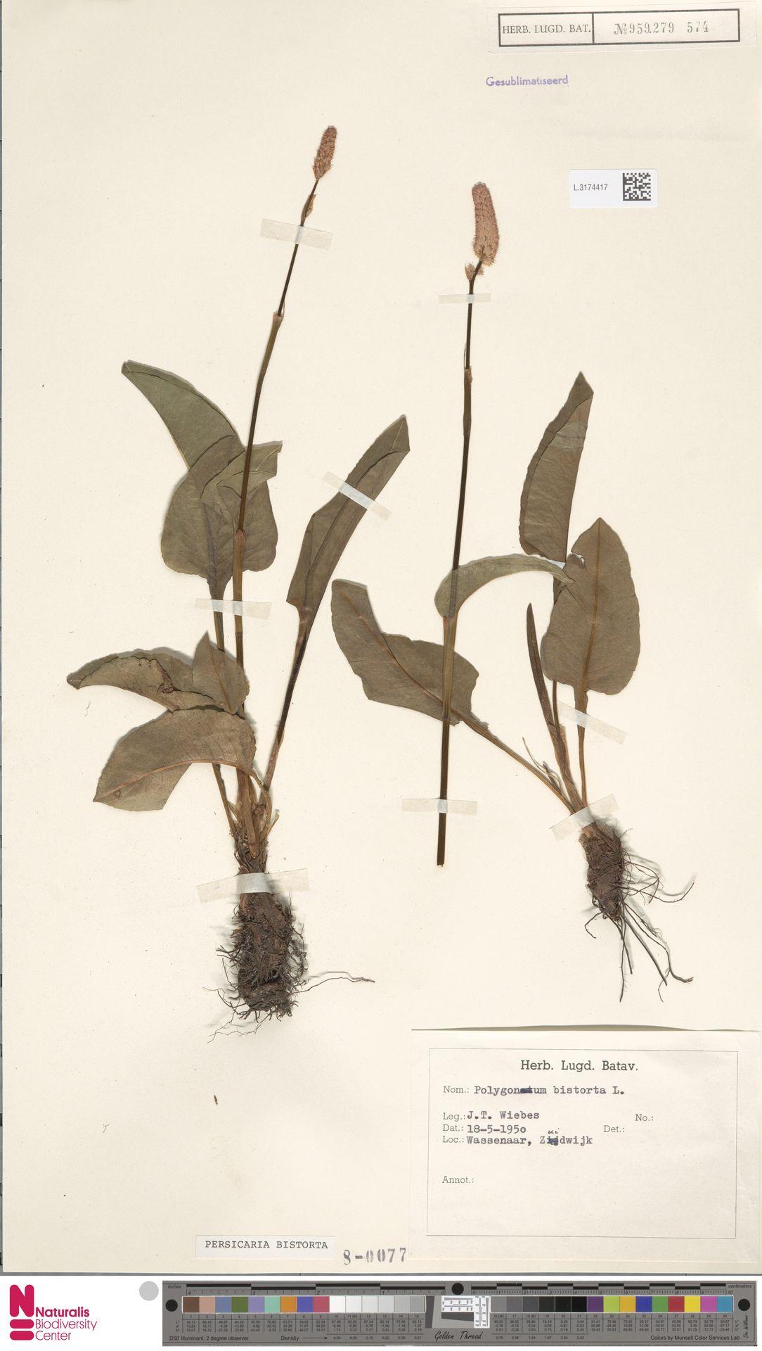 L.3174417 | Persicaria bistorta (L.) Samp.