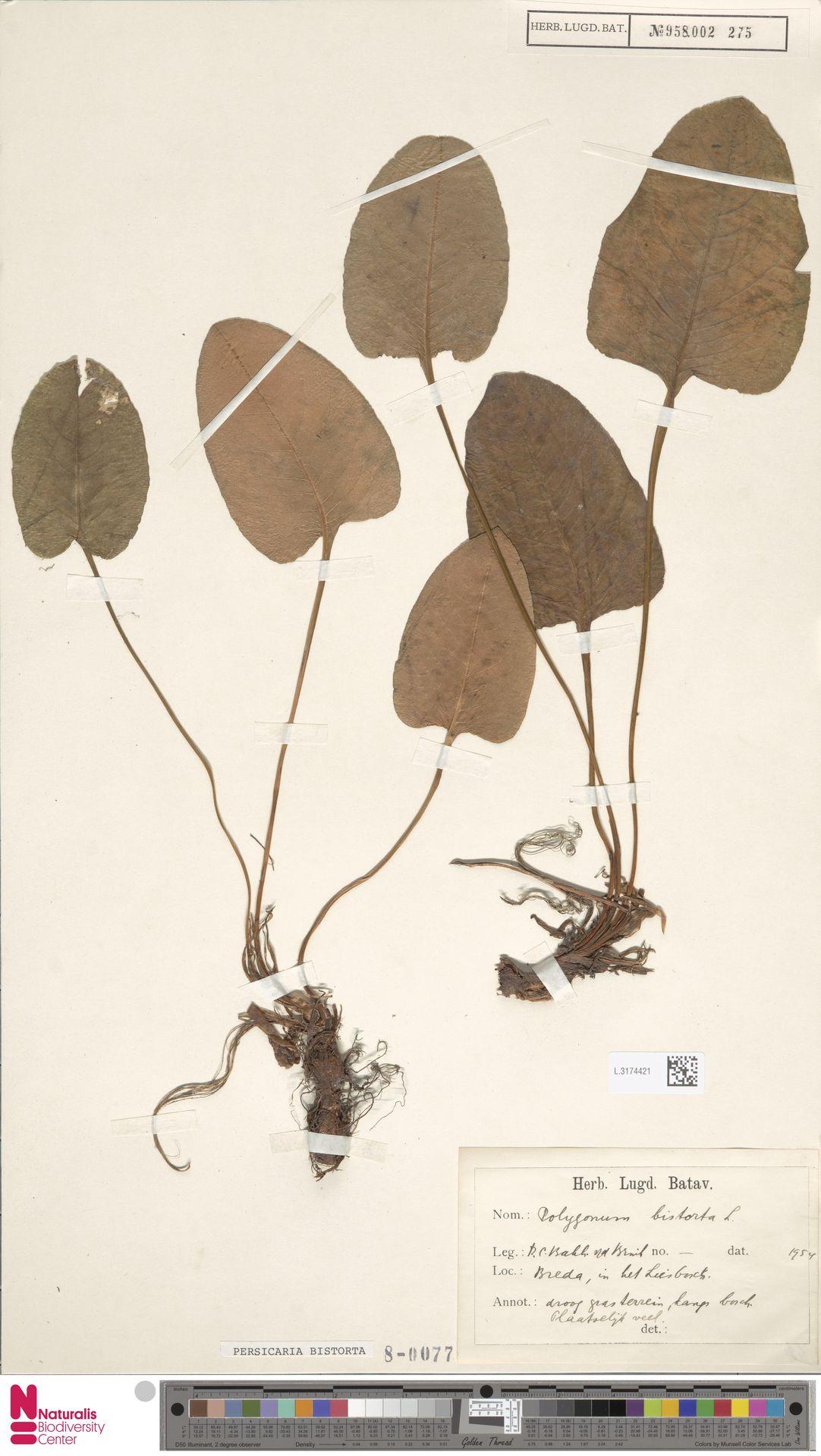 L.3174421 | Persicaria bistorta (L.) Samp.
