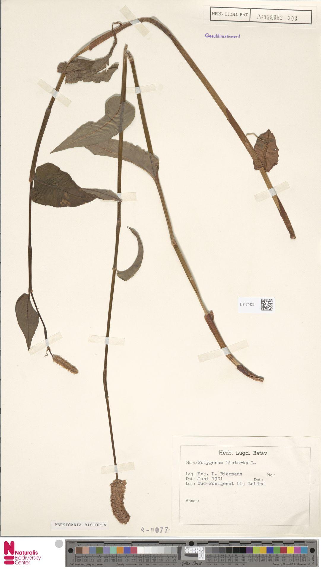 L.3174422 | Persicaria bistorta (L.) Samp.