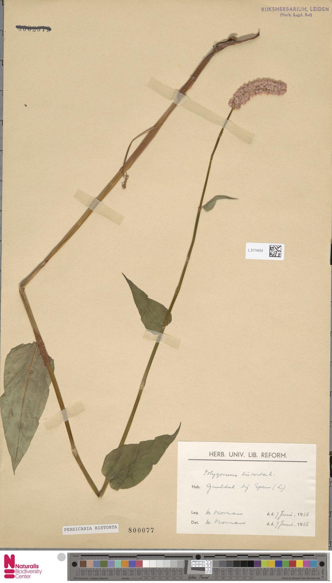 L.3174424 | Persicaria bistorta (L.) Samp.