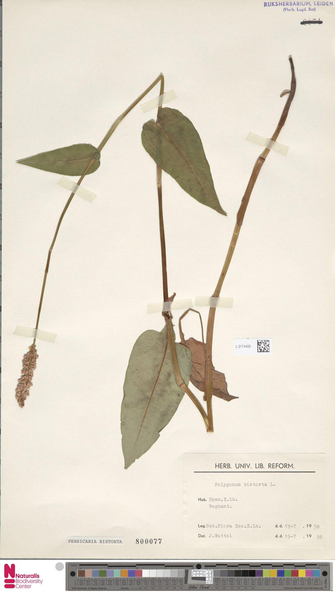 L.3174425   Persicaria bistorta (L.) Samp.