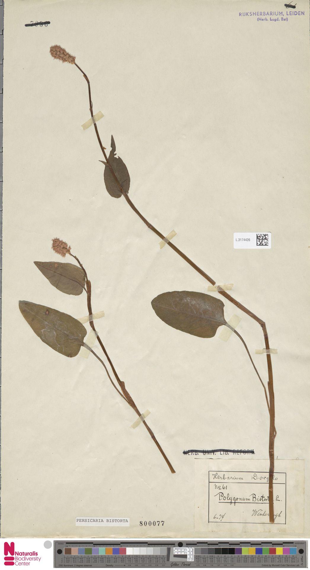 L.3174426 | Persicaria bistorta (L.) Samp.