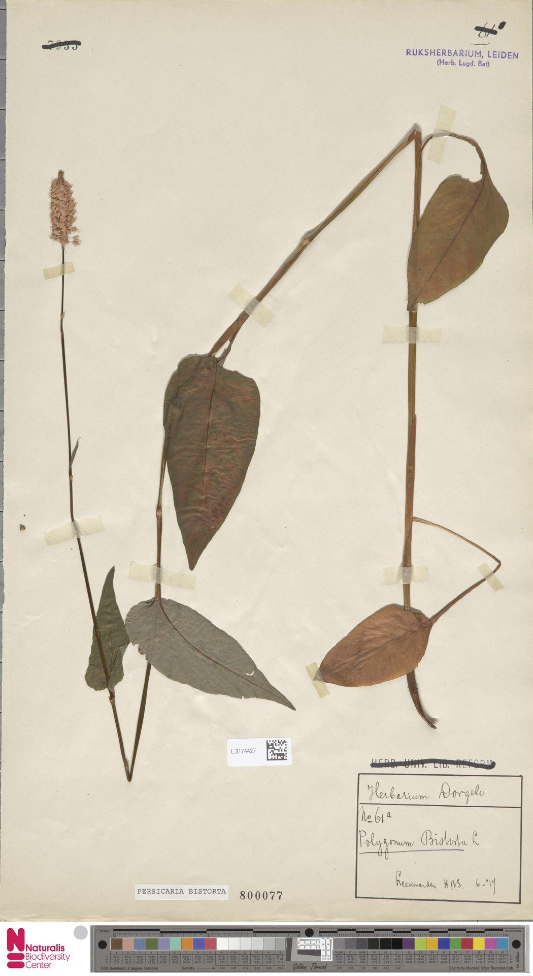 L.3174427   Persicaria bistorta (L.) Samp.