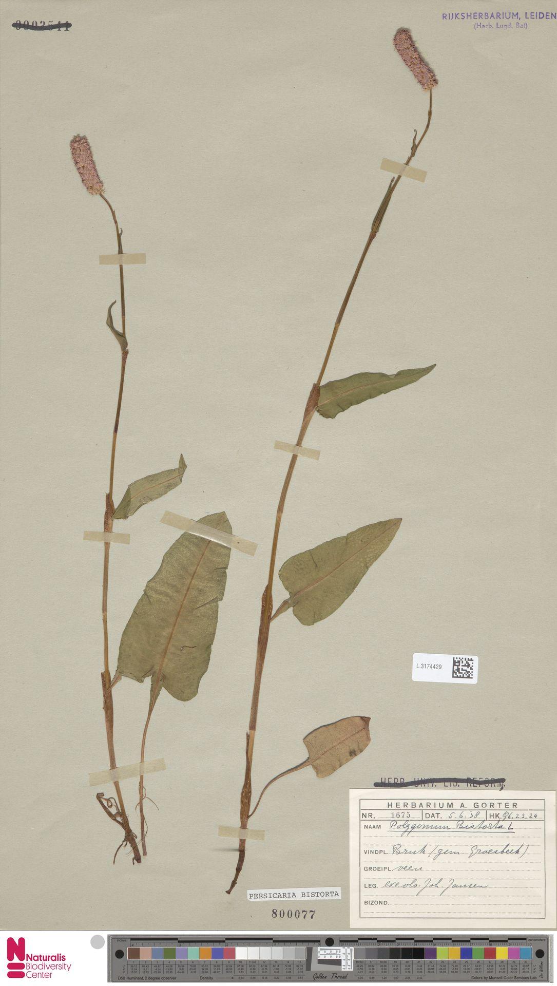 L.3174429 | Persicaria bistorta (L.) Samp.
