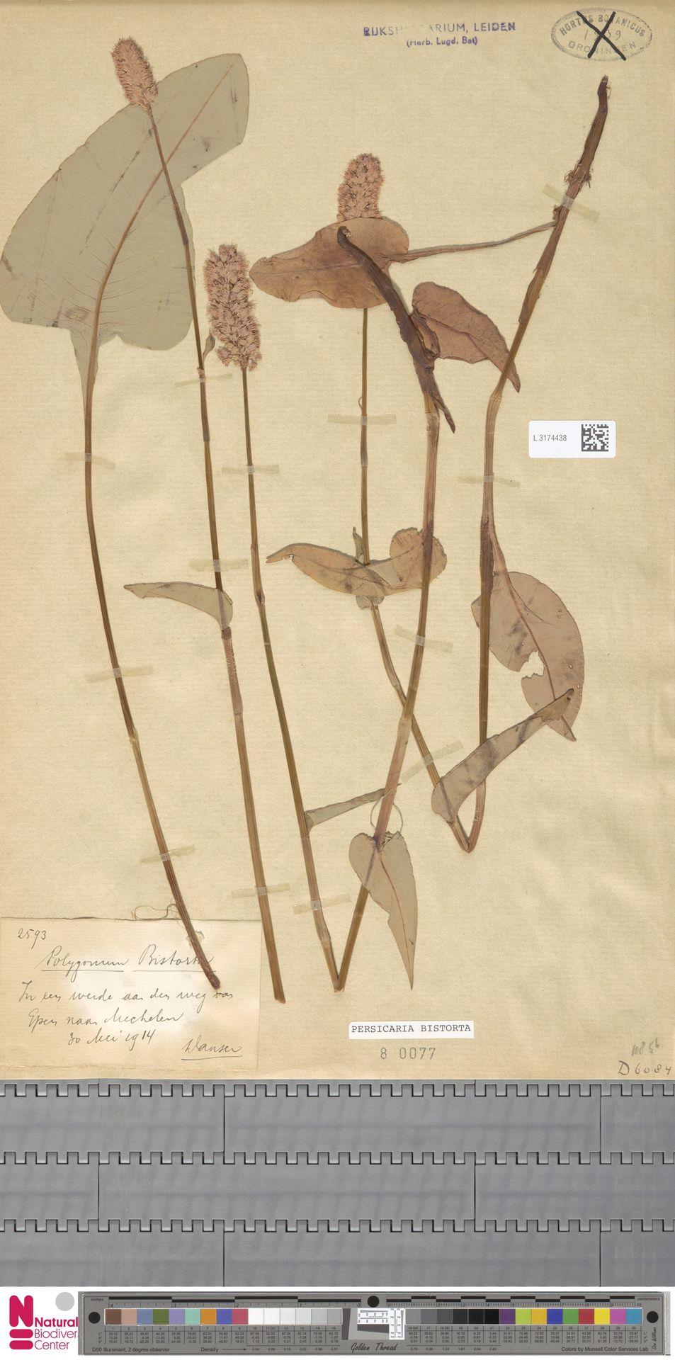 L.3174438 | Persicaria bistorta (L.) Samp.