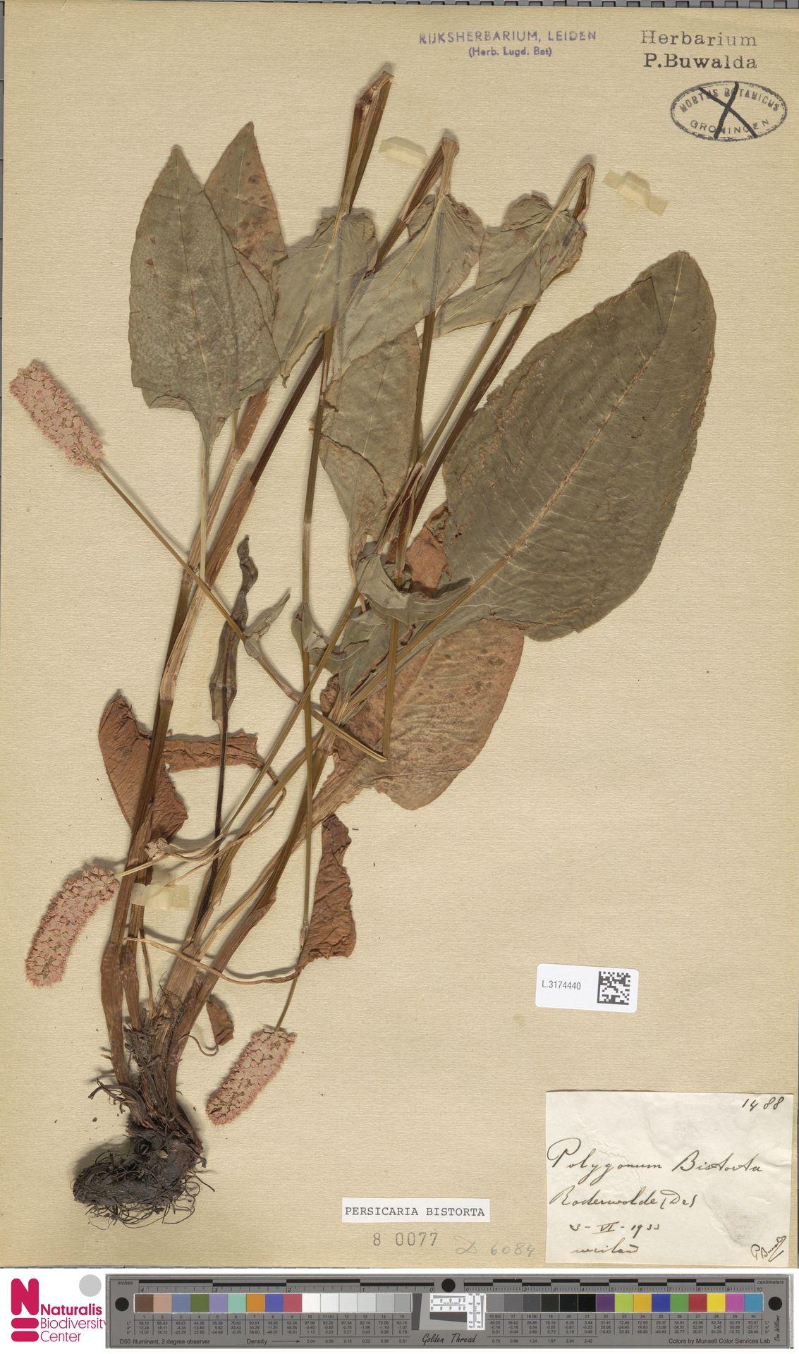 L.3174440 | Persicaria bistorta (L.) Samp.