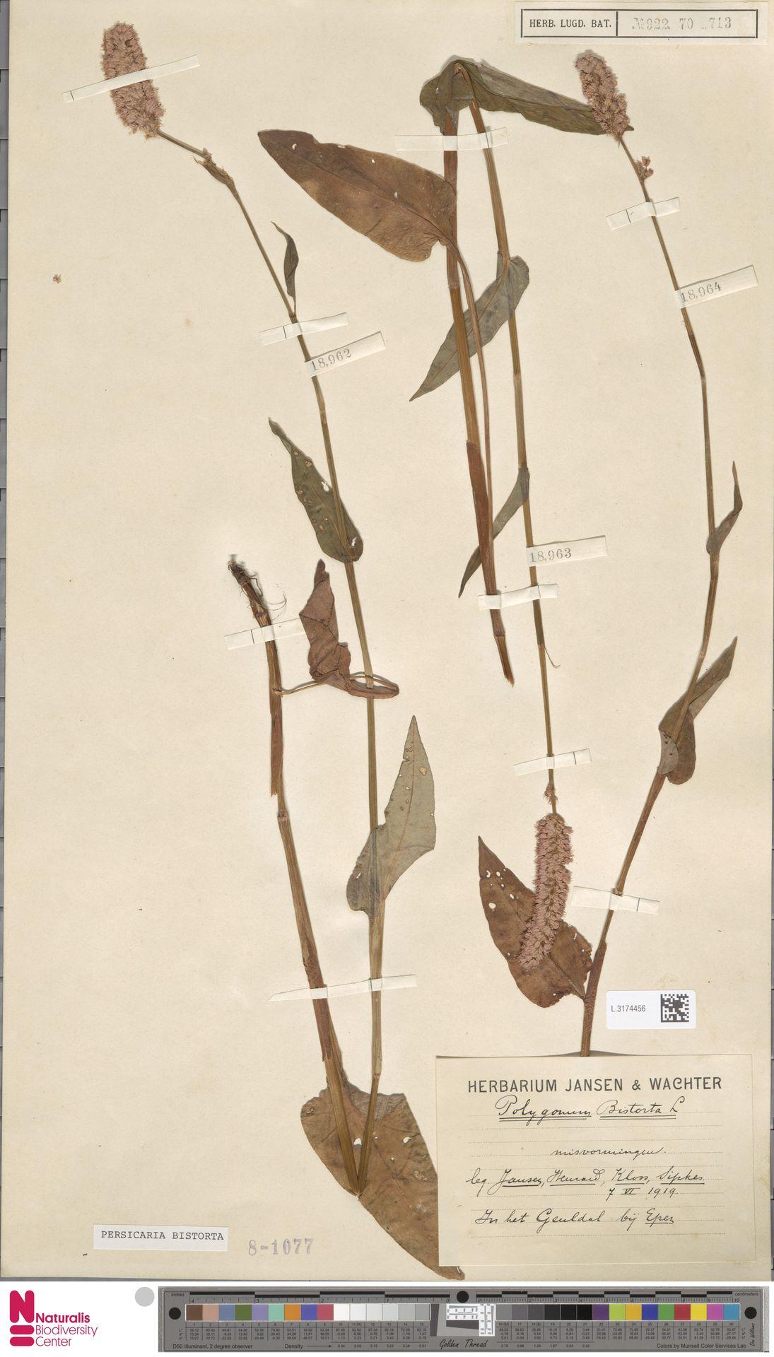 L.3174456   Persicaria bistorta (L.) Samp.