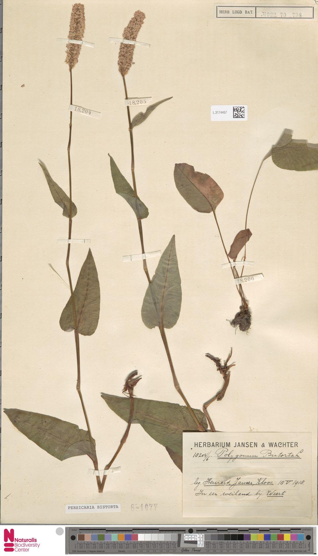 L.3174457 | Persicaria bistorta (L.) Samp.