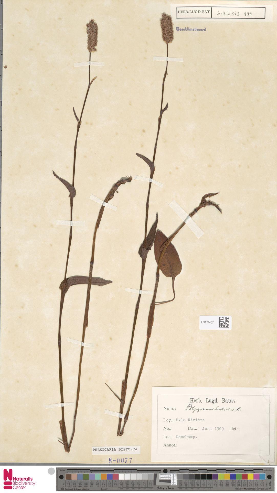 L.3174467   Persicaria bistorta (L.) Samp.