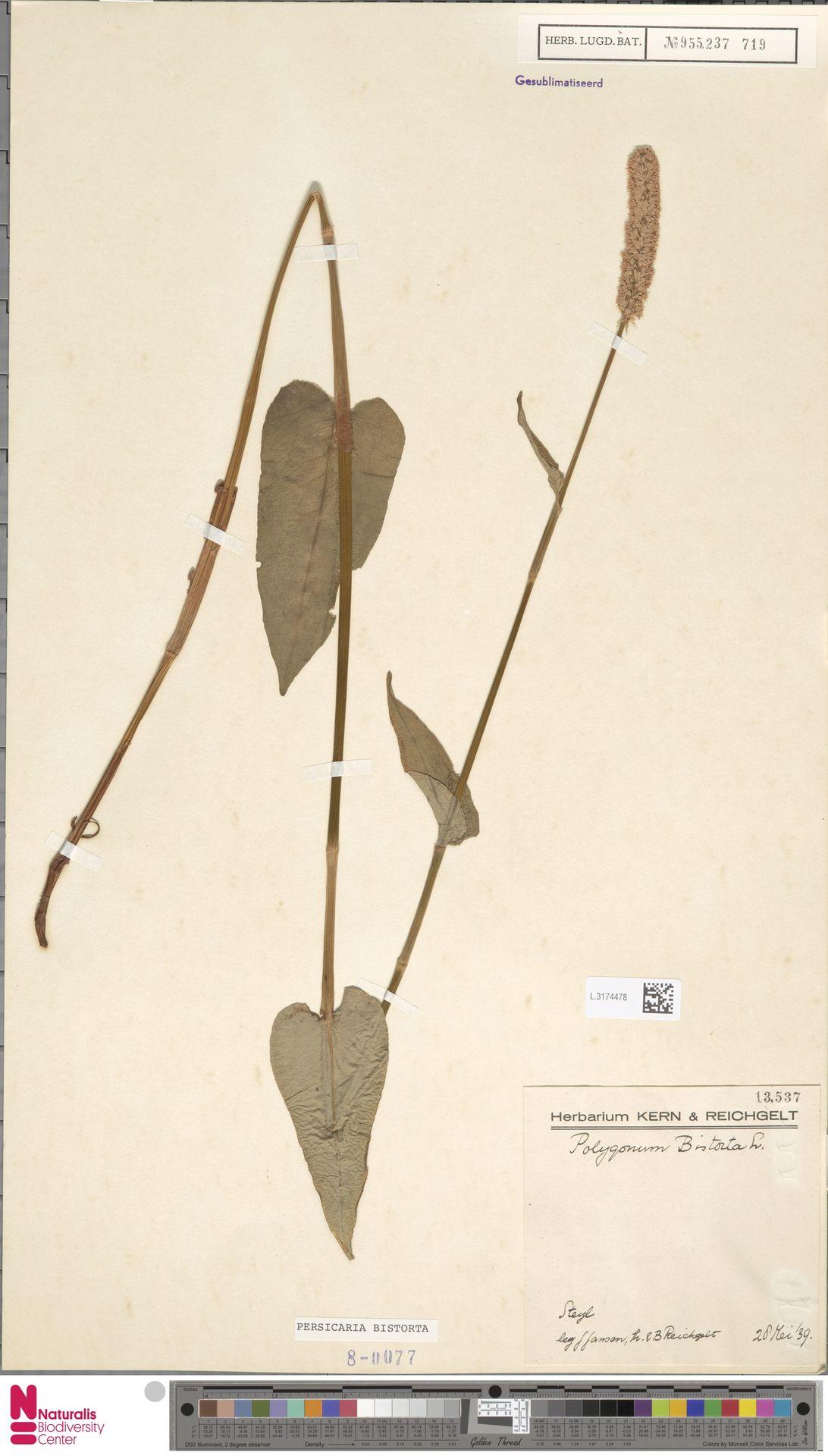 L.3174478 | Persicaria bistorta (L.) Samp.