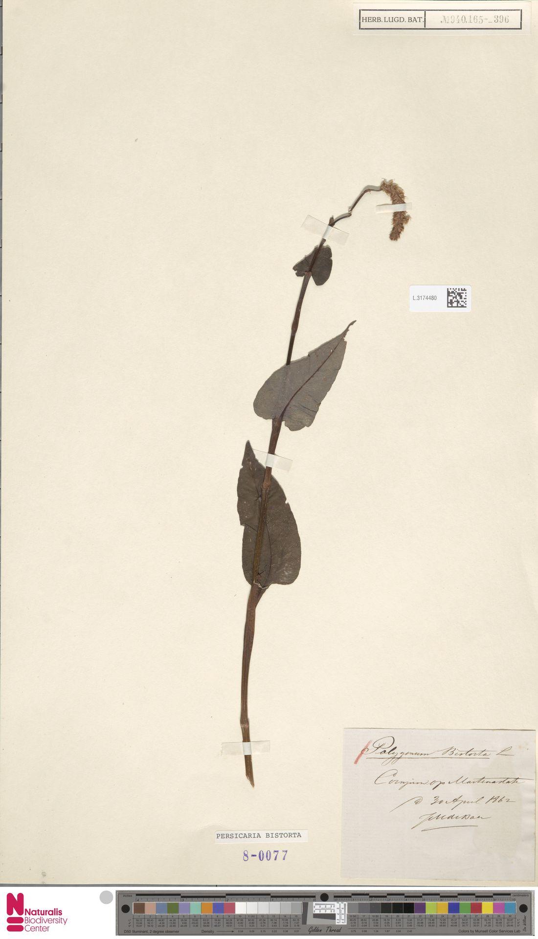 L.3174480 | Persicaria bistorta (L.) Samp.