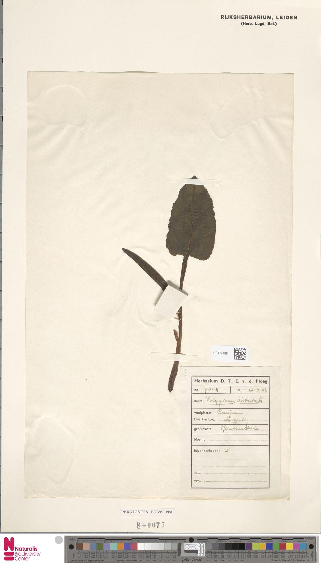 L.3174488 | Persicaria bistorta (L.) Samp.
