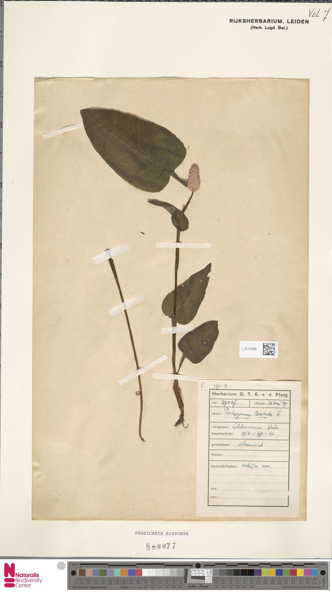 L.3174490 | Persicaria bistorta (L.) Samp.