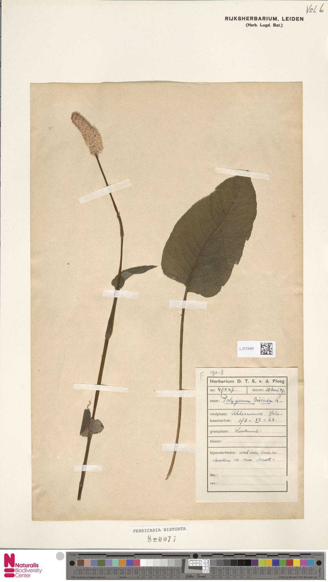 L.3174491 | Persicaria bistorta (L.) Samp.